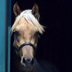 Egyptian related Palomino gelding
